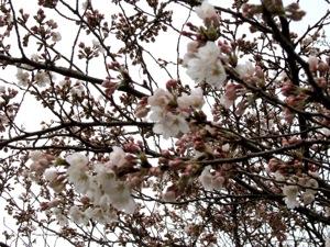 2008_0330_Sakura.jpg